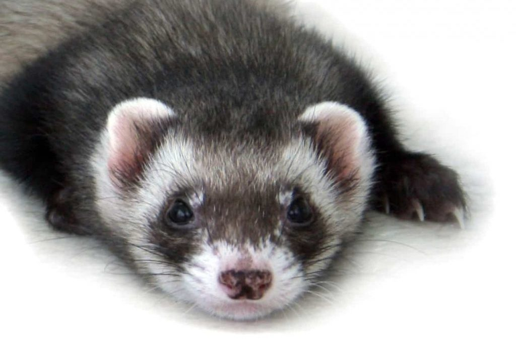 Management of a Canine Distemper Virus outbreak in a ferret rescue facility